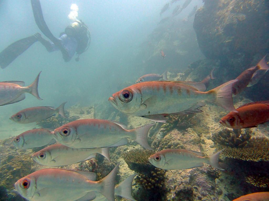 Banc de poissons et plongeur