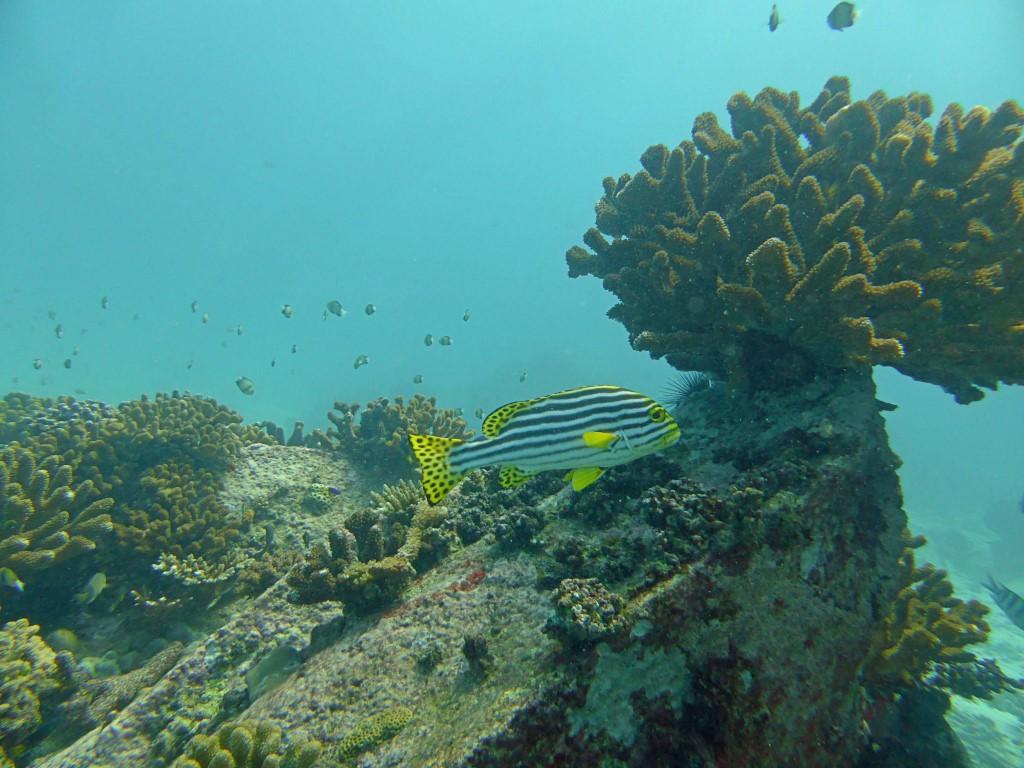 Gaterin rayé et paysage corallien